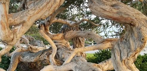Melaleuca tree (tea tree). Heisler Park, Laguna Beach, CA