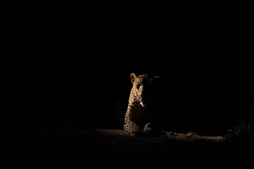 Male leopard resting in the dark on a gravel road.