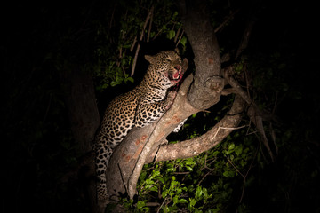 Young male leopard with kill in tree.