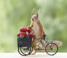 red squirrel on a cycle and an Strawberry