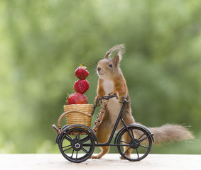 red squirrel with a cycle and a Strawberry