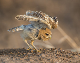 Burrowing Owl stretching