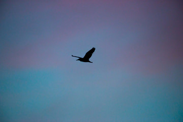 Silhouette of flying bird with beautiful sunset background