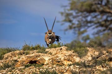 Gemsbok, Oryx gazella gazella, standing on the horizon, Kalahari South Africa