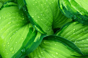 Fresh Green Hosta Plant Leaves after Rain with Water Drops. Botanical Foliage Nature Background. Wallpaper Poster Template. Organic Cosmetics Wellness Spa Environmental Conservation. Copy Space