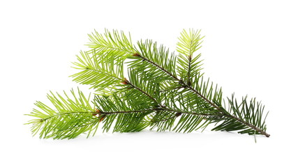 Pine branch, decoration isolated on white background