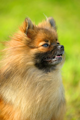red pomeranian spitz on a background of green grass