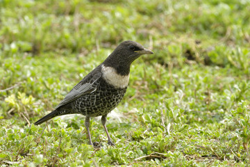 Ring Ouzel on the ground