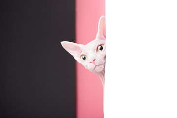 Curious Sphynx Cat looking out from behind a white sheet of paper on a background of pink and black stripes, Studio, Portrait,  Copy space