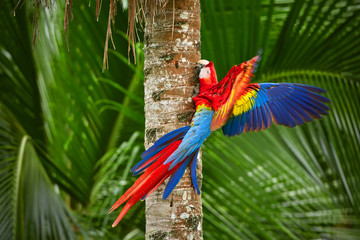 Red parrot (Macaw parrot) fly in dark green vegetation. Scarlet Macaw, Ara macao, in tropical forest, Costa Rica. Red bird in the forest. Parrot flight. Wildlife scene from tropic nature.