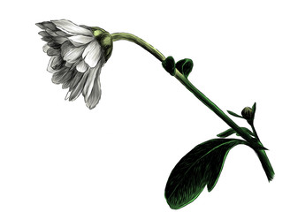 chrysanthemum flower tilted down on stem with leaves, sketch vector graphic color illustration
