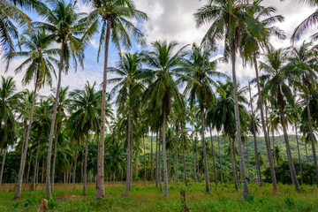 Palm Grove on a tropical island. Coconut palms in Asia