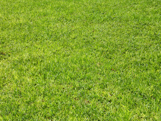 Grass background, green lawn