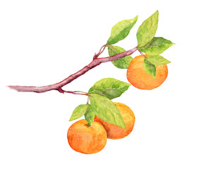 Branch of clementine orange fruit. Watercolor