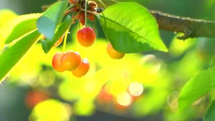 Fotoväggar - Cherry. Organic cherries hanging on tree. Ripe yellow cherries closeup. Gardening concept. Slow motion 4K UHD video 3840X2160