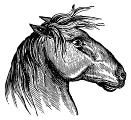 Horsehead - Equus #vector #isolated - Pferdekopf