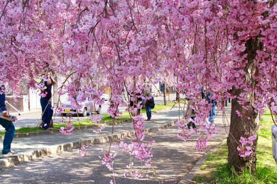 日中線のしだれ桜(福島県・喜多方市)
