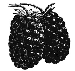 Dewberry #vector #isolated - Brombeeren