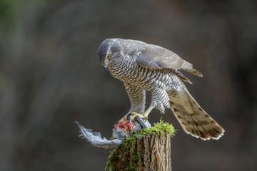 Amazing female goshawk with prey