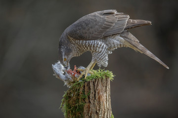 Goshawk feeding on fresh pigeon