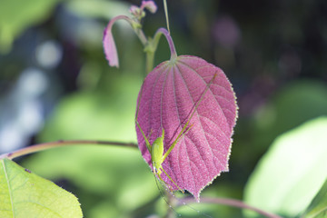 Close up. Green grasshopper Island is on a pink leaf.