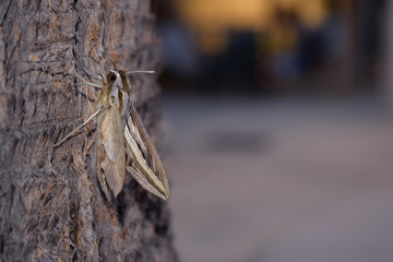 Night butterfly Elephant hawk moth on the trunk of a palm tree at night