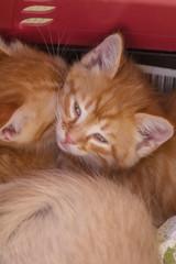 Two cute little ginger kittens is sleeping in soft blanket