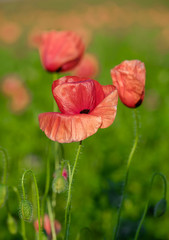 Blossoming poppies surrounded by greenery with a blurred background 2