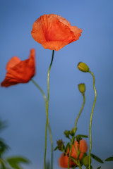 Flowering poppies on the blue sky background 2