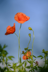 Flowering poppies on the blue sky background 3