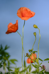 Flowering poppies on the blue sky background 4