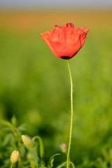 Poppy plant on a blurred background close-up 1