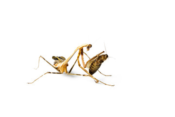 Praying mantis and cockroach