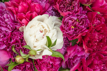 Flowers Peonies. A solid background of peonies. One white peony among the reds.