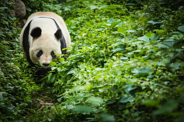 Giand Panda Bear. China Wildlife.