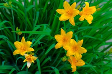 A daylily is a flowering plant in the genus Hemerocallis Gardening enthusiasts and professional horticulturalists have long bred daylily species for their attractive flowers.
