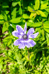 Purple Anemone in flower in spring