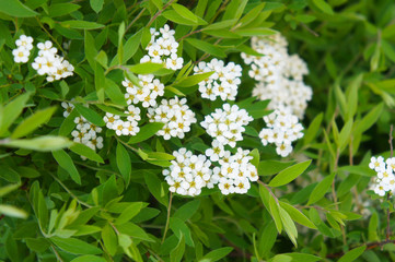 Shrub of white blossoming flowers spirea or spiraea nipponica with green foliage