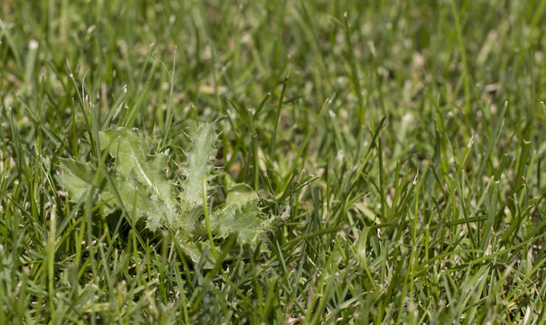 Cirsium arvense in the lawn