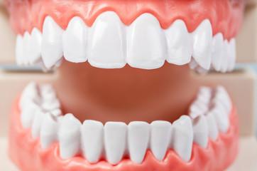 Close up teeth model.