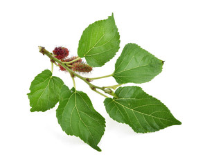 Mulberry with leaf on white background