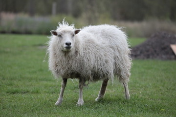 Acrylic Prints Sheep Schaf Oldenburg