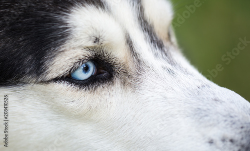 Blue Eyes Of A Siberian Husky Close Up Siberian Husky In The Summer