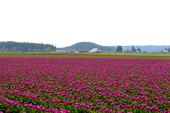 Tulip Fields in Skagit County