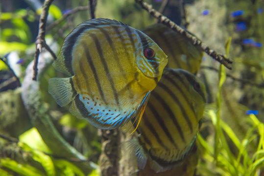 Discus fish Symphysodon aequifasciatus blue diamond
