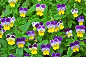 Poster Pansies spring blooming pansy flowers background