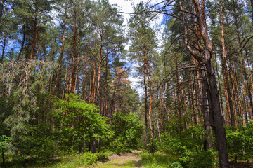 Coniferous forest against the sky