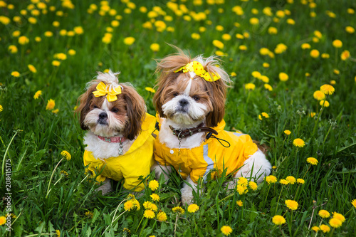 Cute little dog sitting among yellow flowers in yellow overalls with cute little dog sitting among yellow flowers in yellow overalls with bows in green grass in mightylinksfo