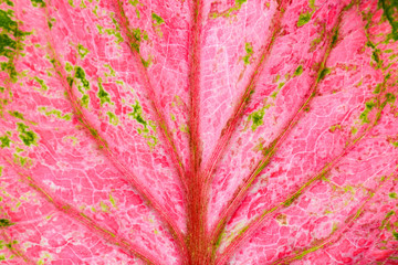 pink and green caladium bicolor leaves texture - background