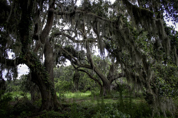 Oaks with spanish moss